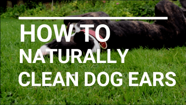 How To Clean Dog S Ears With Apple Cider Vinegar